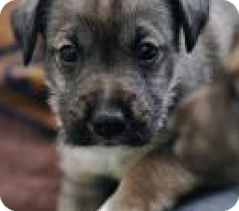 Wirehaired Fox Terrier Mix Puppy for adoption in Minneapolis, Minnesota - Daisy