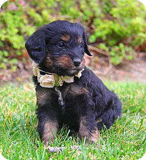 Cockapoo/Spaniel (Unknown Type) Mix Puppy for adoption in Irvine, California - Medelo
