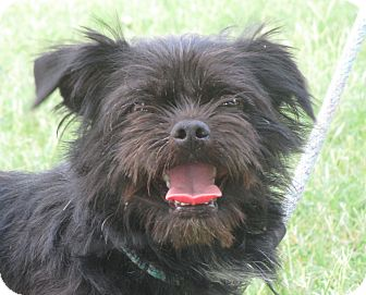 Brussels Griffon/Terrier (Unknown Type, Small) Mix Dog for adoption in Turlock, California - Danny Boy