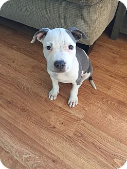 Pit Bull Terrier Mix Puppy for adoption in Newport Beach, California - Zeus