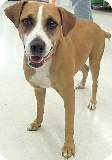 Labrador Retriever/Hound (Unknown Type) Mix Dog for adoption in Sterling Heights, Michigan - Pamela