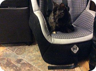 Domestic Shorthair Kitten for adoption in Warren, Michigan - Maude