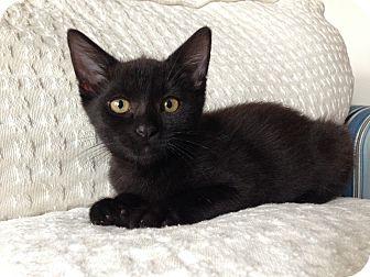 Domestic Shorthair Kitten for adoption in Seattle, Washington - Esi