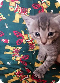 Domestic Shorthair Kitten for adoption in Oxford, Connecticut - Monet