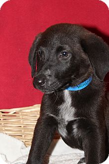 Labrador Retriever Puppy for adoption in Waldorf, Maryland - Frank