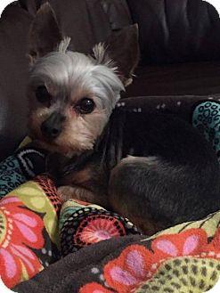 Yorkie, Yorkshire Terrier Dog for adoption in Spring, Texas - Sam