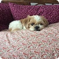 Adopt A Pet :: Miley - Mount Kisco, NY