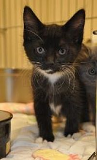 Domestic Mediumhair/Domestic Shorthair Mix Cat for adoption in Pompano Beach, Florida - Coco Puff