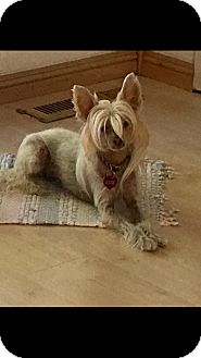 Chinese Crested Dog for adoption in Sparks, Nevada - Rosy