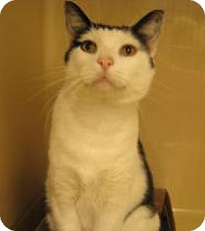 Domestic Shorthair Cat for adoption in Stillwater, Oklahoma - Motown