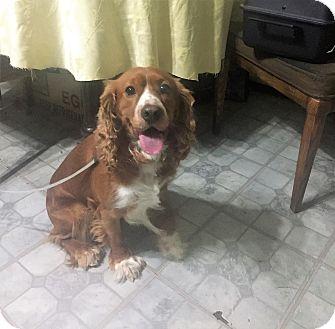 Cocker Spaniel Dog for adoption in Vernon, Connecticut - Fabio