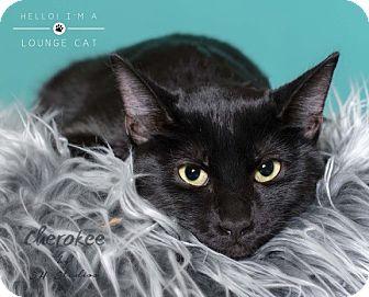Domestic Shorthair Kitten for adoption in Houston, Texas - Cherokee