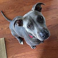 Adopt A Pet :: Blu - Grand Prairie, TX