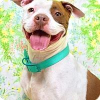 Adopt A Pet :: Chino - Dublin, CA