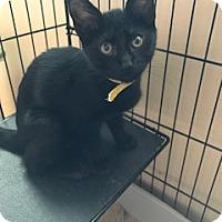 Adopt A Pet :: Noir - Chattanooga, TN