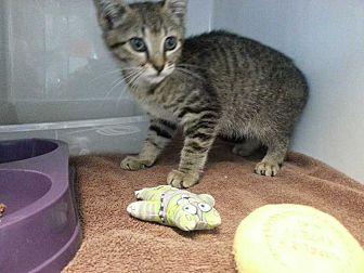 Domestic Shorthair Kitten for adoption in Margate, Florida - Stevie