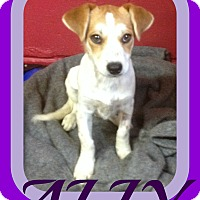 Brittany/Dachshund Mix Puppy for adoption in Albany, New York - ALLY