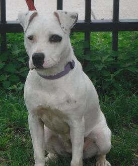 American Staffordshire Terrier Mix Dog for adoption in Buffalo, New York - Penelope
