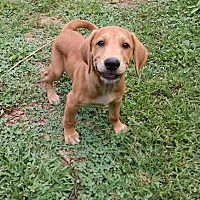 Labrador Retriever/Hound (Unknown Type) Mix Puppy for adoption in Ashburn, Virginia - Ryan
