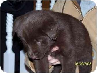 Australian Shepherd/Labrador Retriever Mix Puppy for adoption in Ripley, Ohio - Christine