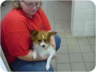 Papillon Mix Dog for adoption in Marshalltown, Iowa - Sassafras