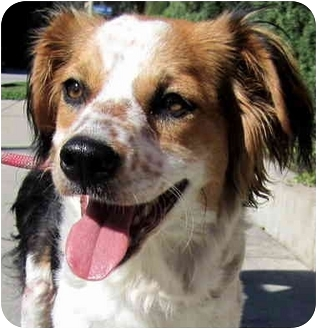 English Springer Spaniel/Brittany Mix Dog for adoption in Los Angeles, California - Paisley