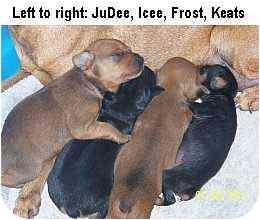 Miniature Pinscher Puppy for adoption in Minneapolis, Minnesota - JuDee: