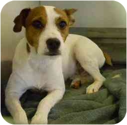 Jack Russell Terrier Mix Dog for adoption in Kansas City, Missouri - Courtesy List-Skip