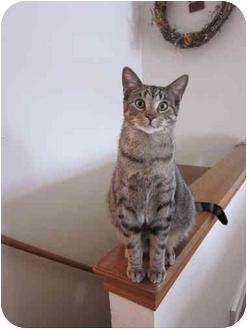 Domestic Shorthair Cat for adoption in Sheboygan, Wisconsin - Wilbert