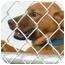 Photo 3 - Labrador Retriever/German Shepherd Dog Mix Puppy for adoption in Arlington, Virginia - Amber