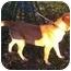 Photo 2 - Golden Retriever/Labrador Retriever Mix Dog for adoption in Windham, New Hampshire - Bo