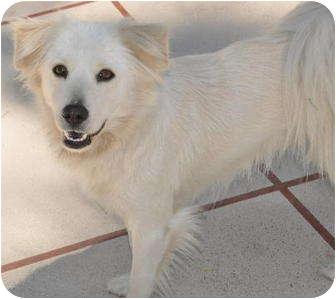 Golden Retriever/Eskimo Dog Mix Dog for adoption in La Habra Heights, California - Snowy