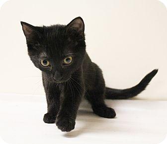 Domestic Shorthair Kitten for adoption in Carlisle, Pennsylvania - Tiny
