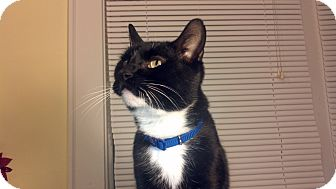 American Shorthair Cat for adoption in Syracuse, New York - Sherlock