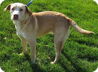 Labrador Retriever Mix Dog for adoption in Oak Brook, Illinois - Cole