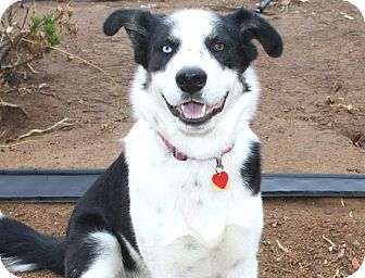 Border Collie/Siberian Husky Mix Dog for adoption in Bellflower, California - Isaac-I have a GORGEOUS coat!