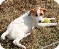 Beagle/Hound (Unknown Type) Mix Puppy for adoption in Spring Valley, New York - Adorable Daisy