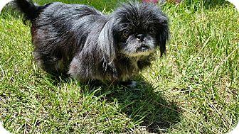 Pekingese Dog for adoption in Weeki Wachee, Florida - Peke