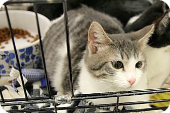 Domestic Shorthair Cat for adoption in Rochester, Minnesota - Goliath