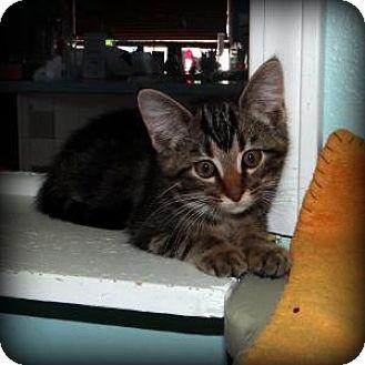 Domestic Shorthair Kitten for adoption in union, Missouri - Mario