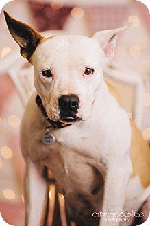 Pit Bull Terrier Dog for adoption in Portland, Oregon - Tegan