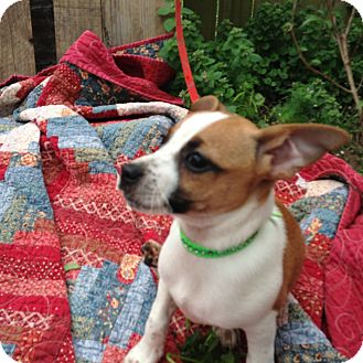 Chihuahua/Beagle Mix Puppy for adoption in Newburgh, New York - HARLEY
