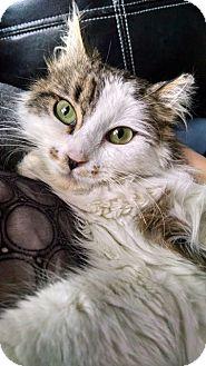 Domestic Longhair Kitten for adoption in Colmar, Pennsylvania - Keira Mae