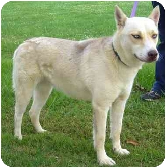 Siberian Husky Mix Dog for adoption in Portsmouth, Rhode Island - Aleu