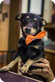 Miniature Pinscher Mix Dog for adoption in Sterling, Kansas - Pedro