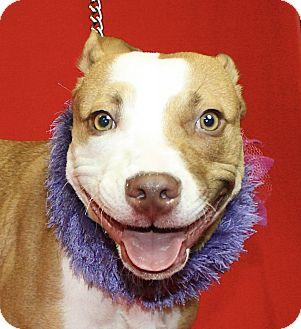 Pit Bull Terrier Mix Dog for adoption in Jackson, Michigan - Judie