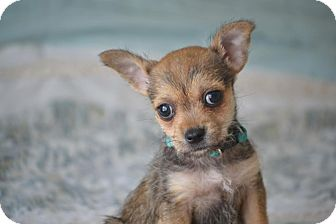 Chihuahua/French Bulldog Mix Puppy for adoption in Allentown, Pennsylvania - Frodo