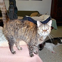 Domestic Shorthair Cat for adoption in Naples, Florida - Minnie