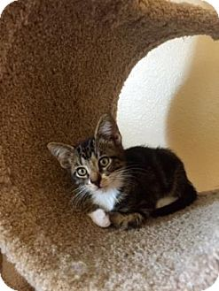 Domestic Shorthair Kitten for adoption in Bulverde, Texas - Stanley