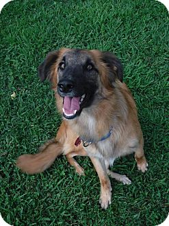Sheltie, Shetland Sheepdog/Afghan Hound Mix Dog for adoption in Cookeville, Tennessee - Chewie